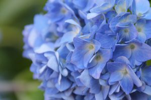 紫陽花ina-ajisai15